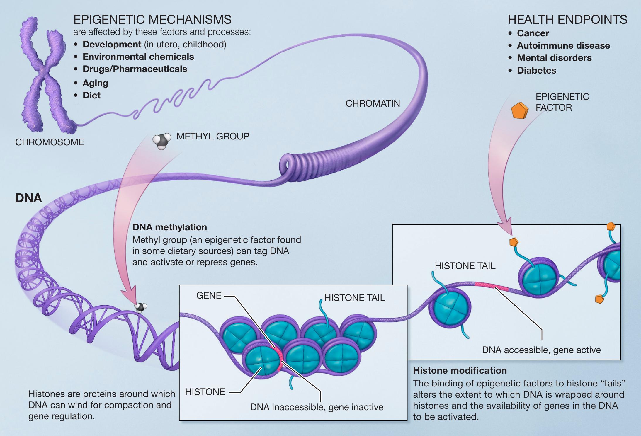 epigenetic theories